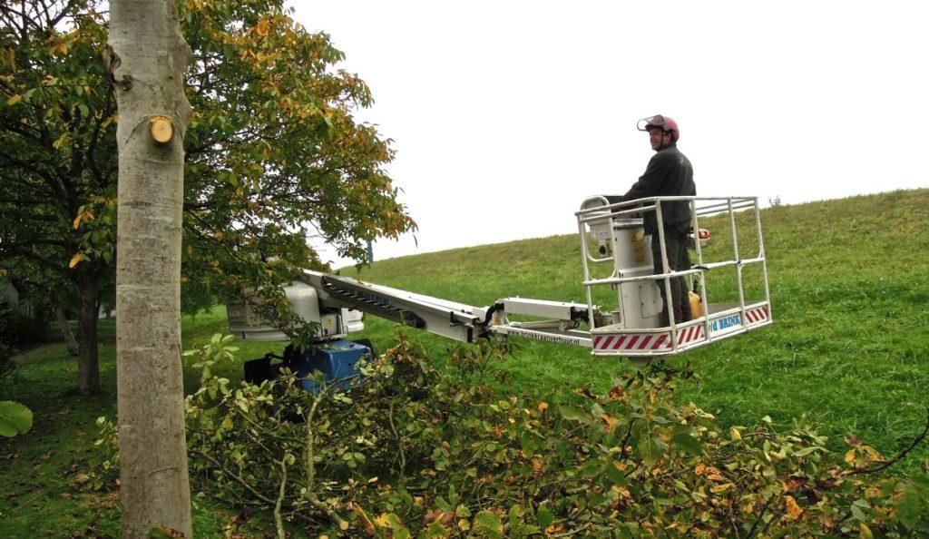 Het uitvoeren van achterstallige snoei bij notenbomen in Nieuwaal