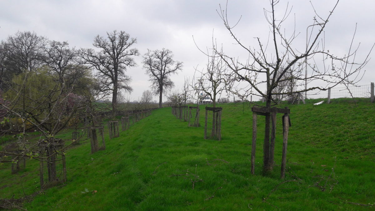 Snoeien van Fruitbomen: