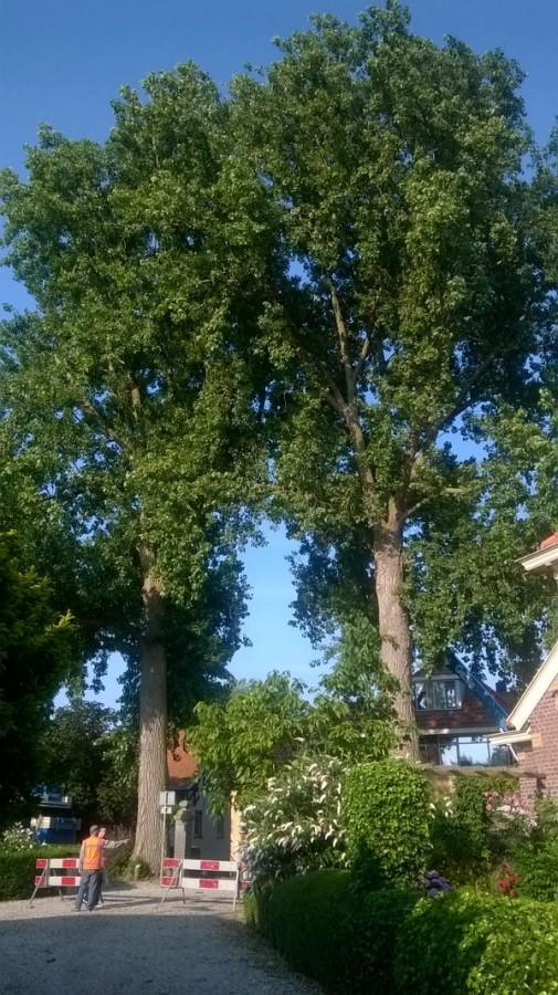 Het kappen de grote populieren van Noord-Holland staan in de gemeente Enkhuizen